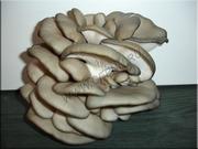 Купить мицелий грибов в г.Калуга