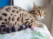 Продаю бенгальских котят разных окрасов и гибридов Ф1 от алк.