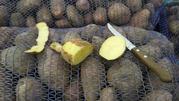 Реализуем картофель сорта Розара и Гала!